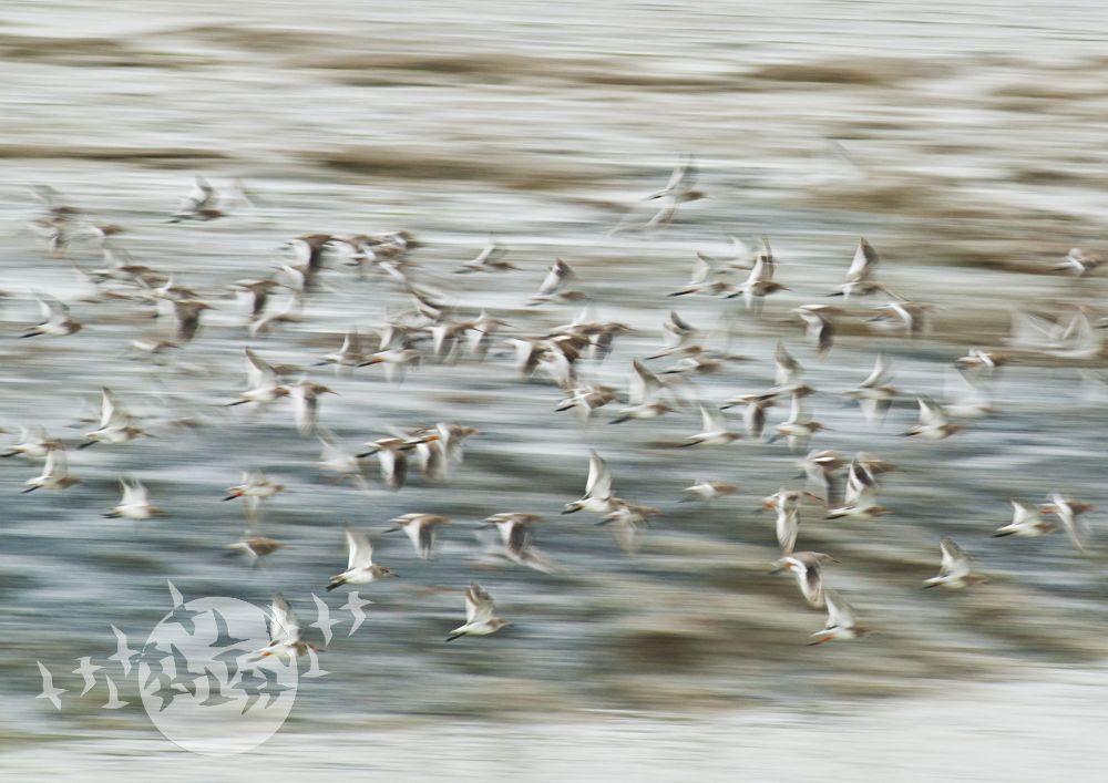 Watvögel. Foto: Ralph Becker