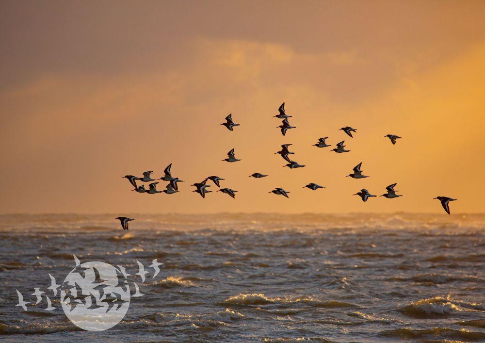Austernfischer. Foto: Peter Fuhse