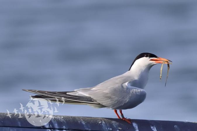 Flussseeschwalbe. Foto: Dr. Detlev Schaps