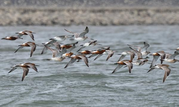 Ein Trupp Pfuhlschnepfen unterwegs im Wattenmeer. Foto: Jan Weinbecker