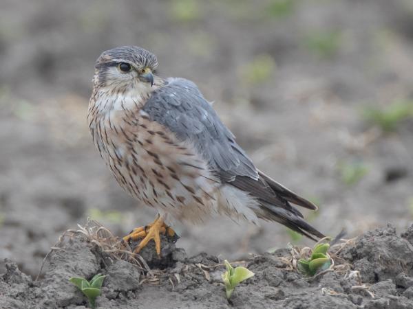 Merlin. Foto: Gerd-Michael Heinze