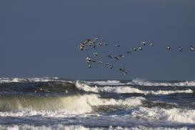 Ziehende Eiderenten. Foto: Nationalparkverwaltung