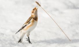 Dieses Jahr schmückt ein Singvogel als typischer Zugvogel im Wattenmeer Plakate und Programmhefte der Zugvogeltage, die Schneeammer. (Foto: Gary Gulash)