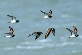 Ein Trupp Sandregenpfeifer überfliegt das Wattenmeer